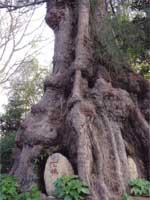 Свастика на японском святилище в корнях дерева
