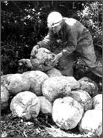 Каменные шары для стрельбы из катапульт, которыми уничтожили Монсегюр. Раскопки 1968 года. Иллюстрация из книги Светланы Левашовой «Откровение»