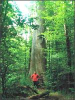 Рис.1. Крупнейший дуб в Белоруссии, 800 лет