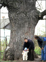 Рис.7. Крупнейший дуб в России, 430 лет