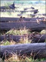 Рис.8. Морёный дуб