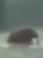 Фото живого мамонта, сделанное в наше время